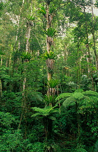 Subtropical rainforest with tree fern understorey, Border Ranges National Park, Gondwana Rainforest UNESCO Natural World Heritage Site, New South Wales, Australia.  -  Jiri Lochman
