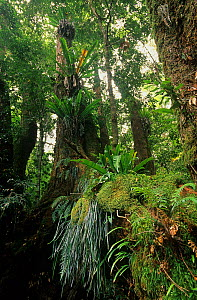 Subtropical rainforest, Border Ranges National Park, Gondwana Rainforest UNESCO Natural World Heritage Site, New South Wales, Australia.  -  Jiri Lochman