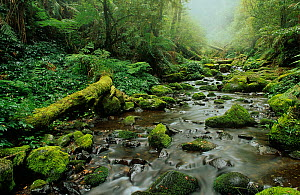Subtropical rainforest, New England National Park, Gondwana Rainforest UNESCO Natural World Heritage Site, New South Wales, Australia.  -  Jiri Lochman