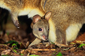Red-necked Pademelon (Thylogale thetis) joey in pouch, Barrington Tops National Park, Gondwana Rainforest UNESCO World Hertiage Site, New South Wales, Australia.  -  Jiri Lochman
