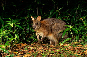 Red-necked Pademelon (Thylogale thetis), Barrington Tops National Park, Gondwana Rainforest UNESCO World Hertiage Site, New South Wales, Australia. - Jiri Lochman
