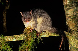 Short-eared Brushtail Possum (Trichosurus caninus) feeding, Barrington Tops National Park, Gondwana Rainforest UNESCO World Hertiage Site, New South Wales, Australia. - Jiri Lochman
