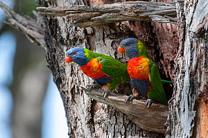 Rainbow Lorikeet (Trichoglossus haematodus), Thirlmere Lakes National Park, Greater Blue Mountains UNESCO Natural World Heritage Site, New South Wales. - Jiri Lochman