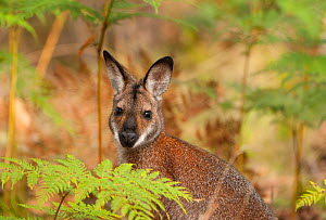 Red-necked Wallaby (Macropus rufogriseus), Yengo National Park, Greater Blue Mountains UNESCO Natural World Heritage Site, New South Wales.  -  Jiri Lochman