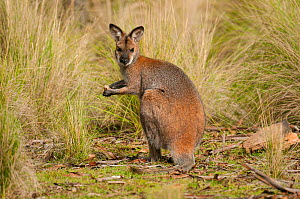 Red-necked Wallaby (Macropus rufogriseus), Wollemi National Park, Greater Blue Mountains UNESCO Natural World Heritage Site, New South Wales.  -  Jiri Lochman