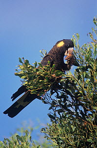 Yellow-tailed Black Cockatoo (Calyptorhynchus funereus) feeding, Thirlmere Lakes National Park, Greater Blue Mountains UNESCO Natural World Heritage Site, New South Wales.  -  Jiri Lochman