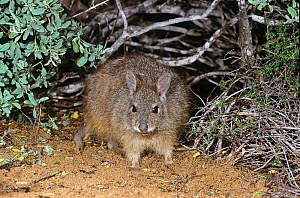 Rufous hare-wallaby or Western hare-wallaby (Lagorchestes hirsutus subsp.doreae), Shark Bay UNESCO Natural World Heritage Site, Western Australia.  -  Jiri Lochman