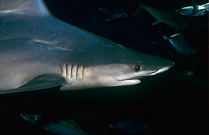 Blue shark (Prionace glauca) Shark Bay UNESCO Natural World Heritage Site, Western Australia. - Jiri Lochman