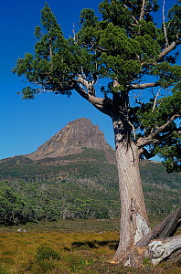 Barn Bluff with Pencil Pine (Athrotaxis cupressoides), Lake ST. Clair National Park, Tasmanian Wilderness UNESCO Natural World Heritage Site, Cradle Mountain, Tasmania, Australia. - Jiri Lochman