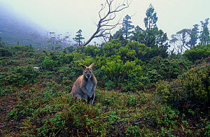 Red necked wallaby (Macropus rufogriseus), Walls of Jerusalem National Park, Tasmanian Wilderness UNESCO Natural World Heritage Site, Tasmania, Australia.  -  Jiri Lochman