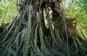 Curtain fig (Ficus microcarpa), Curtain Fig National Park, Wet Tropics of Queensland UNESCO Natural World Heritage Site, Queensland, Australia. - Jiri Lochman