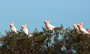Major Mitchell's cockatoo (Cacatua leadbeateri) flock, Willandra Lakes UNESCO Natural World Heritage Site, New South Wales, Australia.  -  Jiri Lochman