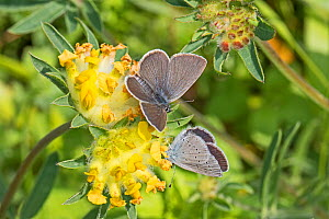 Small blue butterfly (Cupido minimus)  male hoping to mate with female on their foodplant,  kidney vetch  Hutchinson's Bank, New Addington, London, England, UK.  June.  -  Rod Williams