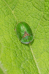 Tortoise Beetle  (Cassida rubiginosa)  Warwick Gardens, Peckham, London, UK,  June.  -  Rod Williams