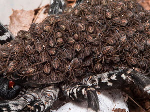 Deserta Grande Wolf Spider (Hogna ingens) spiderlings on back of mother, in captive breeding program at Bristol Zoo Gardens, Captive. Critically endangered species, native to Madeira.  -  James Dunbar