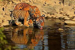 Bengal tiger (Panthera tigris) tigress 'Noor T39' drinking with cub age three months , Ranthambhore, India - Andy Rouse