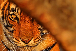 Bengal tiger (Panthera tigris) tigress 'Noor' peering from behind a tree , Ranthambhore, India  -  Andy Rouse