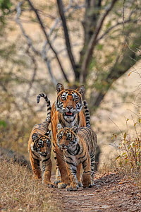 Bengal tiger (Panthera tigris) tigress Noor with cubs , Ranthambhore, India - Andy Rouse