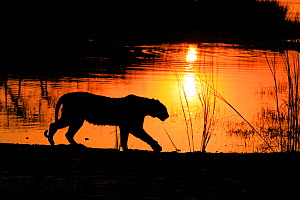 Bengal tiger (Panthera tigris) tigress 'Arrowhead' in silhouetted walking in front of lake at sunset , Ranthambhore, India - Andy Rouse