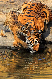 Bengal tiger (Panthera tigris) tigress 'Noor T39' with cubs age three months , Ranthambhore, India - Andy Rouse