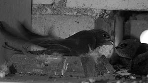Common swift (Apus apus) feeding chick in a nest box, filmed using infrared light, Cambridge, England, UK, August. - Nick Upton