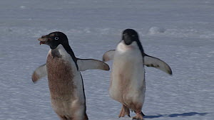 Adelie penguin (Pygoscelis adeliae) walking and carrying a rock for its nest, chased by another penguin, Adelie Land, Antarctica, January.  -  Fred  Olivier