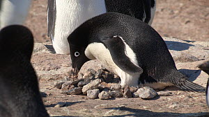 Adelie penguin (Pygoscelis adeliae) defending nest from another penguin, Adelie Land, Antarctica, January.  -  Fred  Olivier