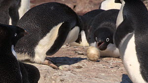 Group of Adelie penguins (Pygoscelis adeliae) destroying an egg with a chick inside, Adelie Land, Antarctica, January.  -  Fred  Olivier