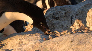Close-up of an Adelie penguin (Pygoscelis adeliae) stealing rocks from a nest, Adelie Land, Antarctica, January.  -  Fred  Olivier