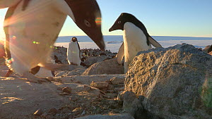 Adelie penguins (Pygoscelis adeliae) stealing rocks from a nest, Adelie Land, Antarctica, January.  -  Fred  Olivier
