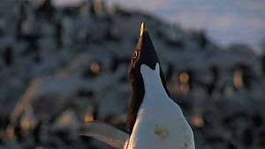 Close-up of a male Adelie penguin (Pygoscelis adeliae) displaying, Adelie Land, Antarctica, January. - Fred  Olivier