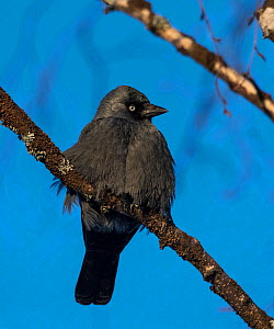 Jackdaw (Corvus monedula) perched, Finland, January, - Jussi  Murtosaari