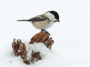 Willow tit (Parus montanus) in snow, Finland, February.  -  Jussi  Murtosaari