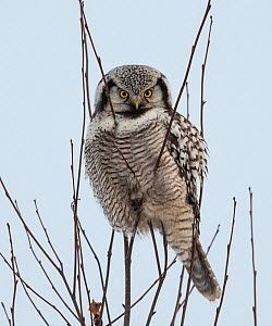 Northern hawk-owl (Surnia ulula) perched, Finland, January. - Jussi  Murtosaari