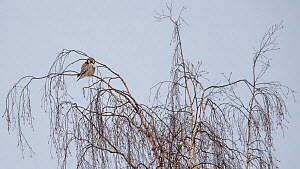 Northern hawk-owl (Surnia ulula), perched, Finland, January. - Jussi  Murtosaari