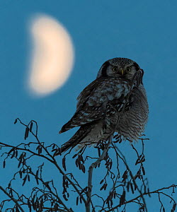 Northern hawk-owl (Surnia ulula) perched with the moon, Finland, January. - Jussi  Murtosaari