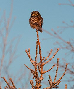 Northern hawk-owl (Surnia ulula) Finland, January. - Jussi  Murtosaari