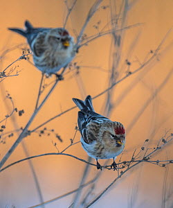 Common redpoll (Acanthis flammea) two birds perched, Finland, January.  -  Jussi  Murtosaari