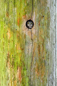 Pygmy Owl (Glaucidium passerinum) Chick peering out of the nest hole in tree, Vosges Mountains, France, June. - Michel  Poinsignon