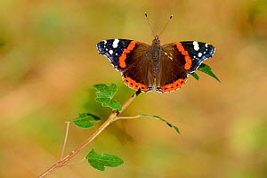 Red admiral butterfly (Vanessa atalanta) resting on leaf, Lorraine, France, July  -  Michel  Poinsignon