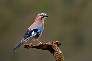 Jay (Garrulus glandarius) perched on branch in winter, Lorraine, Moselle, France.  -  Michel  Poinsignon