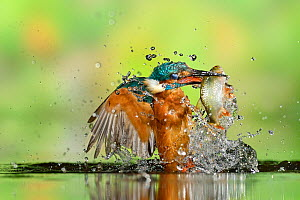 Kingfisher (Alcedo atthis) male, after diving, taking off from water with fish, a Common Roach (Rutilus rutilus) Lorraine, France, August  -  Michel  Poinsignon