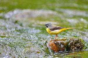 Grey wagtail (Motacilla cinerea) male perched on rock in stream, Lorraine, France, May - Michel  Poinsignon