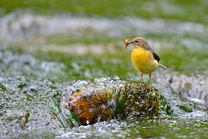 Grey wagtail (Motacilla cinerea) female perched on rock in stream carrying food, Lorraine, France, May - Michel  Poinsignon