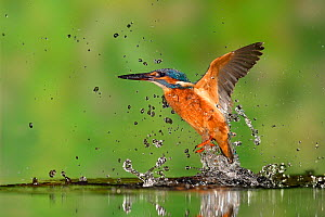 Kingfisher (Alcedo atthis) taking off from water after diving for prey, Lorraine, France. - Michel  Poinsignon