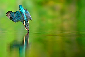 Kingfisher (Alcedo atthis) diving for prey in a river, Lorraine, France. - Michel  Poinsignon