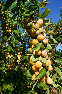 Yellow Plums on branch (Prunus domestica) bearing ripe fruit, Lorraine, France, september - Michel  Poinsignon