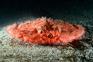 Starry handfish / Minipizza batfish (Halieutaea stellata) on sea floor,  Kochi, Japan.  -  Tony Wu