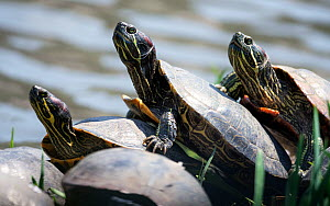 Red-eared slider turtles (Trachemys scripta elegans) invasive species, probably introduced through the pet trade, Kanagawa, Japan, April. - Tony Wu