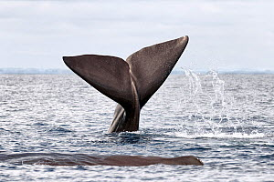 Sperm whale (Physeter macrocephalus) female slapping the surface of the ocean with her fluke to indicate she did not want people to approach her group. Sri Lanka.  -  Tony Wu